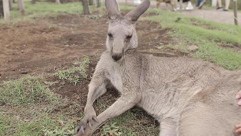 Kangaroo Filmmaterial