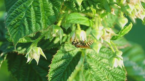 Common Wasp ( Vespula vulgaris) Footage