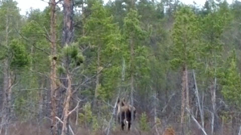 Moose wild animal in the forest Live Action