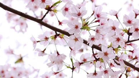 Sakura4 Footage