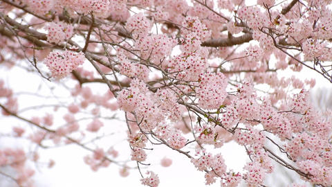 Sakura6 ビデオ
