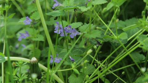 Insects on blue poppies and green grasses 05 Footage