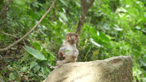 Monkey cub eats green leaf Footage