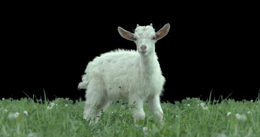Goatling On Green Meadow. Production Quality Clip With Alpha Matte stock footage