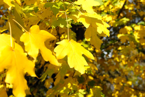 Autumn yellow leaves Photo