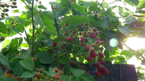 blackberries red unripe on green plant with sun in background shining through Footage