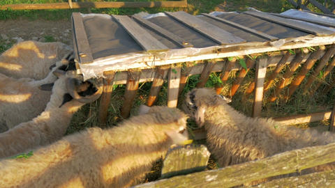 some sheeps eating freshly moved grass from hayrack in slow-motion hd Footage