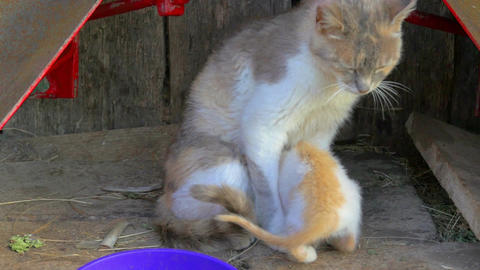 young cat puppy trying to get to some milk from cat mother in slow-motion hd Footage