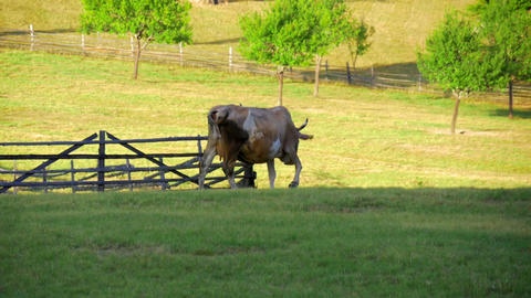 brown cow grazing on green mountain meadow on sunset, walking away in Footage