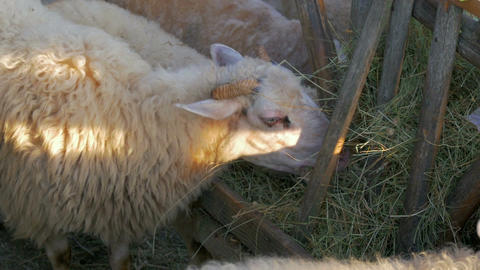 sheeps eating freshly moved grass from hayrack close-up in slow-motion hd Footage