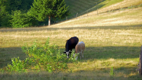 a pair of cows grazing on green mountain meadow on sunset in slow-motion hd Footage