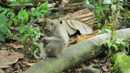 Monkeys in the forest in Bali Footage