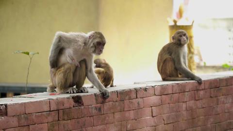 Monkeys in the city of Kathmandu Footage