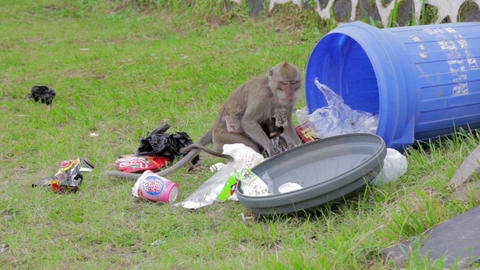 monkeys eating from garbage Stock Video Footage