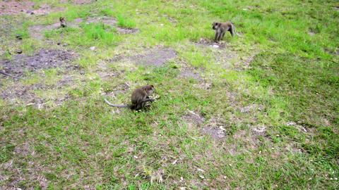 monkeys eating food Stock Video Footage