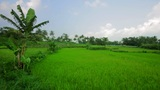 Beautifful Rice Fields In Bali stock footage