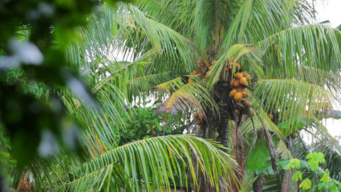coconut tree on rainy day Stock Video Footage