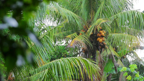 coconut tree on rainy day Footage