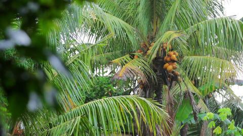 coconut tree on rainy day Stock Video Footage