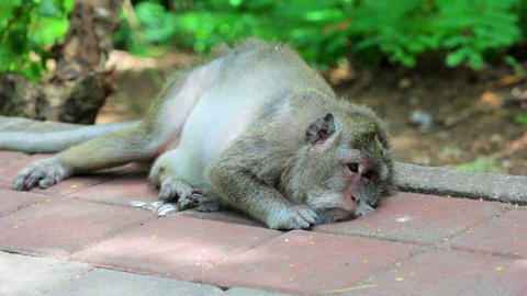 monkey resting Stock Video Footage
