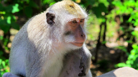 monkey thinking Stock Video Footage