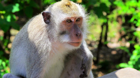 monkey thinking Stock Video Footage
