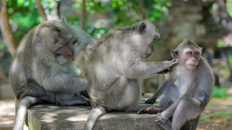 monkey family cleaning louse Footage
