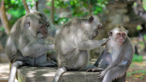 monkey family cleaning louse Stock Video Footage