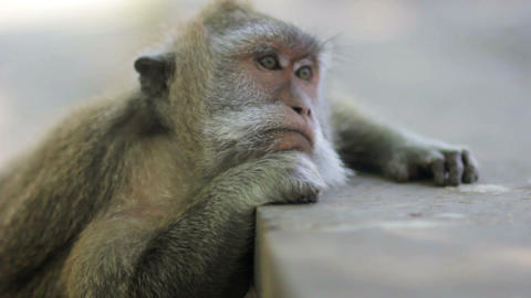 monkey thinking, uluwatu, bali Stock Video Footage