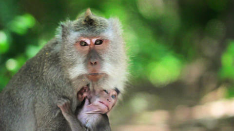 monkey family, uluwatu, bali Footage