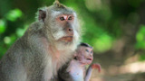Monkey Family, Uluwatu, Bali stock footage