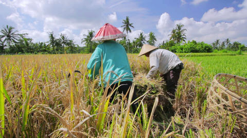 agriculture workers on rice field Footage