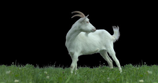 Goat on green meadow. Production quality clip with alpha matte Footage