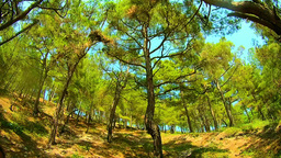 Panoramic view of mountain forest from the roots to the crowns Footage