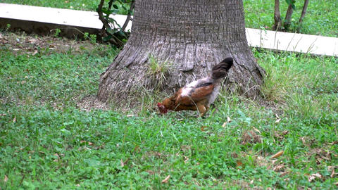 Hens Walking On Green Grass 2