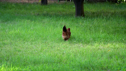 brown chicken walking on the grass Live Action