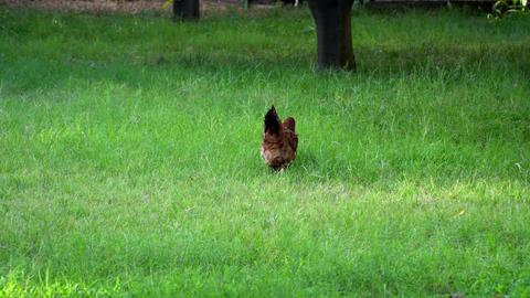 brown chicken walking on the grass Footage