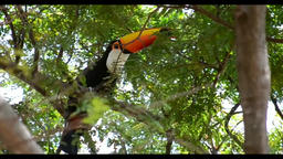 Tucano,The woodpecker is in the tree Footage