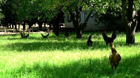 chickens walk through the tropical garden Footage