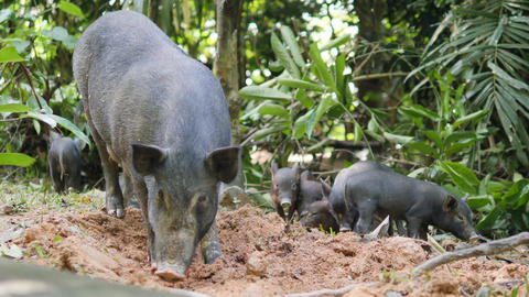 Wild Boar Piglets with Mama Pig In Thai Rainforest Jungle. 4K Footage