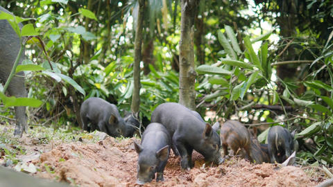 Wild Boar Piglets Digging Ground In Forest Jungle. Thailand. 4K Footage