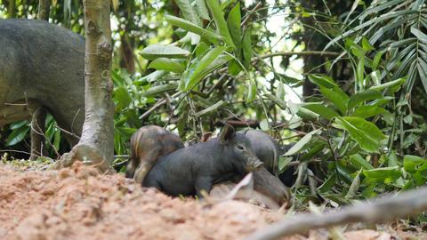 Cute Small Sleepy Wild Boar Piglets In Thai Rainforest Jungle. 4K Footage