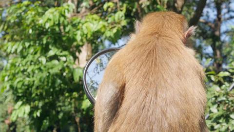Cute Wild Monkey Baby Looking in Motorbike Mirror on Parking lot in Park. Phuket Footage