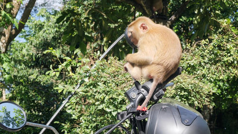 Cute Wild Monkey Baby Sitting on Motorbike Mirror on Parking lot in Park. Phuket Footage