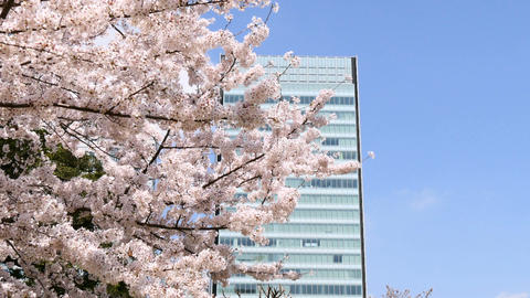 Blooming cherry blossoms in clear blue skies and reflection of a modern office b ビデオ