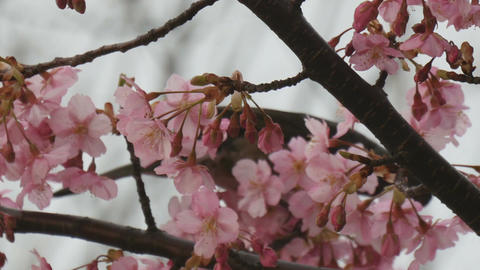 Bird resting inside full blooming cherry blossoms Footage
