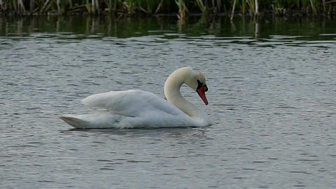 A white swan shakes its head on a lake surface in slo-mo Footage
