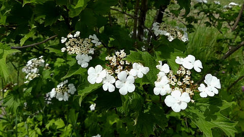 White field flowers with five petals in Ukraine in summer Footage