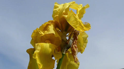 A yellow iris flower with a rusty leaf on a sunny day in summer Footage