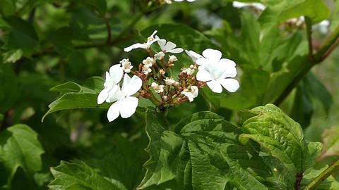 White field flowers with five petals in Ukraine on a sunny day Footage